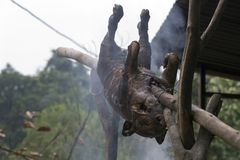 Roasted pork in Vietnam royalty free stock photos