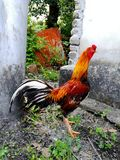 Roaster. Animals chicken colourful bright royalty free stock photos