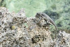 Roatan Lizard on Coral Shore Stock Photography