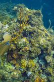 Roatan rafa koralowa Obraz Stock