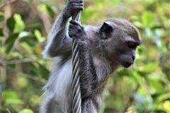 Rob de fer de s'élever de singe dans la forêt photos stock