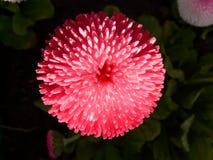 Rob Roy, Daisy, Red, Flower Stock Photos