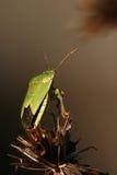 robaki palomena prasina tarczy obraz royalty free