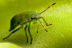 robaki zielone tarczy Zdjęcia Stock