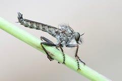 Robbber-Fliege, Tolmerus-atricapillus Lizenzfreies Stockbild