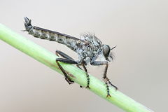 Robbber fly, Tolmerus atricapillus. Kite-tailed Robber Fly, known also as Assassin Fly Royalty Free Stock Image