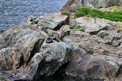 Robben auf den Felsen die Sonne genie?end lizenzfreies stockbild