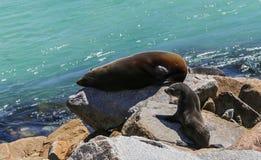 Robben, die auf dem Felsen, merimbula, Australien sich aalen Stockfotos