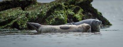 Robben, die in der Nachmittagssonne sich aalen Lizenzfreie Stockfotos