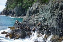Robben, die in der Sonne sich aalen Stockbilder