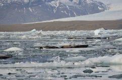 Robben, die in der Sonne sich aalen Gletscher und Gletschereis, die in Glazial- Lagune, Jokursarlon-Lagune, Island schwimmen Stockbilder