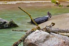 Robben-Schwimmen im Zoo Nürnberg im bavara lizenzfreie stockbilder