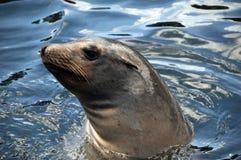 Robbenschwimmen Lizenzfreie Stockfotografie
