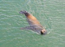 Robbenschwimmen Browns Kalifornien im Ozean Lizenzfreie Stockfotos