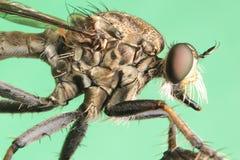 Robber flies asilisade asilus crabroniformis stock photo