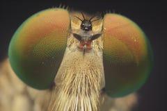 Robber flies asilisade asilus crabroniformis royalty free stock photography
