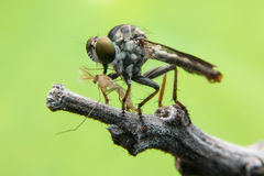 Robber flies Stock Images