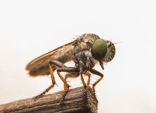 Robber flies. / big head / macro / insect / big eye royalty free stock photos
