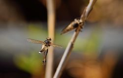 Robber flies, courtship ritual Royalty Free Stock Photography