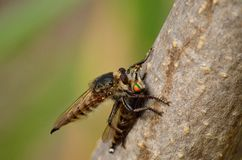 Robber flies. Large robber fly nailing its stinger on another robber fly Royalty Free Stock Photo