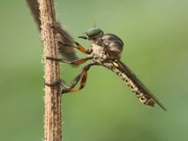 The robber flies royalty free stock photo