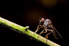 Robber fly. A robber fly with black back ground Royalty Free Stock Image