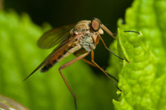 Robber fly Stock Image