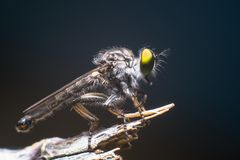 Free Robber Fly Royalty Free Stock Photography - 160853167