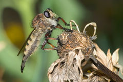 Robber Fly Royalty Free Stock Photography