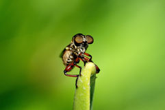 Robber Fly Royalty Free Stock Photos