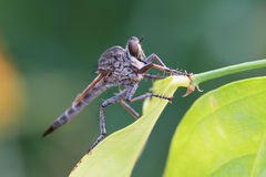 Robber fly. The robber fly; the scientific name is Asilidae (including Leptogastridae Stock Photo