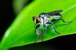 Robber Fly Stock Photos