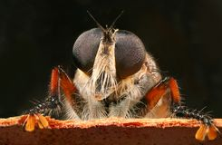 Robber fly. A robber fly peering over the edge of some bark Royalty Free Stock Photo