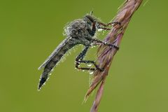 The Robber fly Stock Image