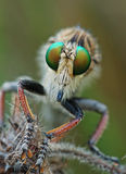 Robber Fly. Macro shot of the head of a Robber Fly, a predatory insect Royalty Free Stock Photography