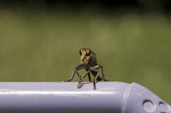 Free Robber Fly Stock Photo - 9939250