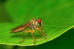 Robber fly, Aarey Milk Colony , INDIA Stock Images