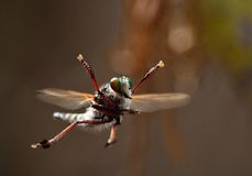 Robber fly Royalty Free Stock Image