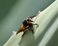 Robber fly on agave leaf Royalty Free Stock Photo