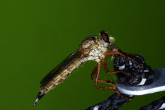 The  robber fly Asilidae or assassin fly. Close up of robber fly Asilidae or assassin fly Stock Photography
