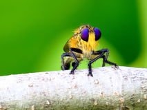 Robber fly (Asilidae) Royalty Free Stock Photo