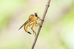 Robber fly, Asilidae Machimus holding Royalty Free Stock Image