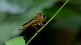 Robber Fly Asilidae  is natural enemies of insect pest on branch in tropical rain forest. Robber Fly Asilidae is natural enemies of insect pest on branch in stock video