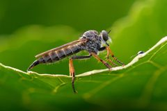 Robber fly Asilidae Royalty Free Stock Photo
