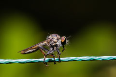 Robber Fly, assassin fly Asilidae Stock Images