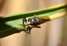 Robber fly on cane leaf Stock Image