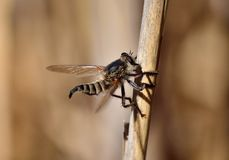 Robber fly on cane stalk Stock Photography