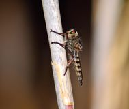 Robber fly on cane stalk Stock Image