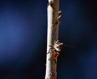 Robber fly on cane stalk. With a small prey and dark blue background Royalty Free Stock Photo