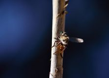Robber fly on cane stalk. With a small prey and dark blue background Royalty Free Stock Images